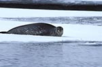 animals;_antarctic;_Antarctic_Peninsula;_Antarctica;_Argentine_Islands;_ecosystem;_environment;_fauna;_glacial;_ice;_landscapes;_Leptonuchotes_weddelli;_mammals;_marine_life;_pinnipeds;_scenery;_scenic;_sea_life;_Weddell_seal