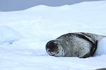 animals;_antarctic;_Antarctic_Peninsula;_Antarctica;_Argentine_Islands;_ecosystem;_environment;_fauna;_glacial;_Hydrurga_leptonyx;_ice;_landscapes;_Leopard_seal;_mammals;_marine_life;_pinnipeds;_scenery;_scenic;_sea_life