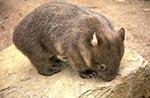 Australia;Australian;South_Pacific;Oceania;Downunder;mammals;animals;fauna;Sydney;New_South_Wales;Wombat;Australian_Wildlife_Park