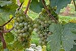Austrian;Europa;Europe;Austria;Duernstein;Dürnstein;foods;fruits;grapes;Lower_Austria;Riesling;Wachau;Österreich