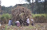 Barbados;Barbadian;Caribbean;Antilles;girl;girls;child;children;youngsters;kids;childhood;person;people;people;persons;West_Indies;Francia_Plantation;People;harvesting;sugar_cane