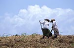 Barbados;Barbadian;Caribbean;agricultural;agriculture;Antilles;countryside;farming;female;people;person;persons;people;rural;West_Indies;woman;women;Francia_Plantation;Women;harvesting;sugar_cane