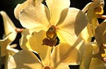 Barbados;Barbadian;Caribbean;Antilles;blooms;blossoms;botanical;botany;flora;flowers;gardens;Orchidaceae;parks;plants;tropical;rain_forest;jungle;West_Indies;Yellow;orchid;flowers;Orchid_World