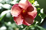 Barbados;Barbadian;Caribbean;Antilles;blooms;blossoms;botanical;botany;flora;flowers;flowers;blooms;blossoms;gardens;parks;plants;West_Indies;Mandevilla