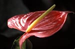 Barbados;Barbadian;Caribbean;Antilles;botanical;botany;flora;flowers;blooms;blossoms;plants;West_Indies;Andromeda_Gardens;Flamingo_lily;Anthurium_andraeanum