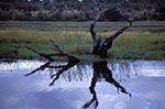 Africa;Tree_stump;Chobe_River;North_West_District;Botswana;Botswanan