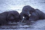Africa;elephant;Loxodonta_africana;Chobe_River;North_West_District;Botswana;Botswanan