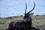 Africa;animals;fauna;mammals;animals;fauna;wildlife;antelopes;Waterbuck;Kobus_ellipsiprymnus;Chobe_National_Park;North_West_District;Botswana;Botswanan