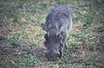 Africa;animals;fauna;mammals;animals;fauna;wildlife;Warthog;Phacochoerus_africanus;Chobe_National_Park;North_West_District;Botswana;Botswanan