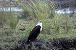 Africa;birds;ornithology;animals;fauna;African_Fish_Eagle;Haliaeetus_vocifer;Chobe_National_Park;North_West_District;Botswana;Botswanan
