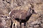 Canada;Canadian;North_America;sheep;domestic_animals;fauna;farm_animals;livestock;mammals;British_Columbia;Bighorn_Sheep;Ovis_canadensis;Alaska_Highway
