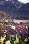 Canada;Canadian;North_America;Atlin;British_Columbia;Flowers;window