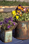 Canada;Canadian;North_America;Atlin;British_Columbia;Flowers;tin_cans