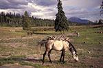 Canada;Canadian;North_America;horses;equestrian;domestic_animals;fauna;farm_animals;livestock;mammals;Big_Bar_Ranch;British_Columbia;Horses