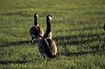 Canada;Canadian;North_America;birds;ornithology;animals;fauna;Prairies;Hecla;Provincial_Park;Manitoba;Canada_Geese;Branta_canadensis