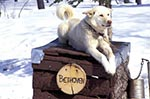 Canada;Canadian;North_America;Arctic;dogs;domestic_animals;fauna;mammals;North_West_Territories;Northwest_Territories;the_sled_dog_Inuvik;zoology;Beethoven