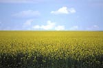 Canada;Canadian;North_America;agriculture;agricultural;rural;countryside;farming;Saskatchewan;Canola_fields;Battleford