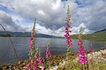 Chile;Chilean;South_America;Latin_America;Bell_flowers;Quitralco_Fjord;Aisen;Region;Patagonia