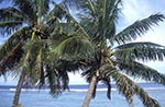 Cook_Islands;South_Pacific;Oceania;island;Polynesian;beaches;coasts;seashores;seaside;trees;plants;botany;botanical;flora;tropical;palm_tree;Rarotonga