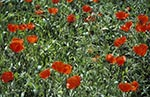 Kazakhstan;Kazakstan;Central_Asia;Kazakh;Kazaki;Kazakhstani;Kazak;Asia;flowers;blooms;blossoms;plants;botany;botanical;flora;Field;red_poppy;Roemeria_refracta;Almaty;Region