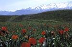 Kazakhstan;Kazakstan;Central_Asia;Kazakh;Kazaki;Kazakhstani;Kazak;Asia;flowers;blooms;blossoms;plants;botany;botanical;flora;Field;red_poppy;Roemeria_refracta;Altay;Mountain;Range