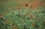 Kazakhstan;Kazakstan;Central_Asia;Kazakh;Kazaki;Kazakhstani;Kazak;Asia;blooms;blossoms;botanical;botany;flora;flowers;girl;girls;child;children;youngsters;kids;childhood;person;people;people;persons;plants;Field;red_poppy;Roemeria_refracta;Almaty;Region