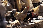 Kenya;Kenyan;Africa;_birds;chicken;domestic_animals;farm_animals;fauna;fowl;livestock;mammals;markets;marketplaces;vendors;sellers;merchants;salespersons;retailers;shopping;poultry;Central_Province;Chickens;market;Nyeri