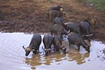 Kenya;Kenyan;Africa;_UNESCO;World_Heritage_Site;Eastern_Province;buffalo;African_Buffalo;Syncerus_caffer;Ark;The_Ark;watering_hole;Aberdares;National_Park