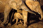 Kenya;Kenyan;Africa;_elephants;pachyderms;mammals;animals;fauna;UNESCO;World_Heritage_Site;Eastern_Province;elephant;African_Bush_Elephants;calf;Loxodonta_africana;Ark;The_Ark;watering_hole;Aberdares;National_Park