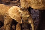 Kenya;Kenyan;Africa;_elephants;pachyderms;mammals;animals;fauna;UNESCO;World_Heritage_Site;Eastern_Province;elephant;African_Bush_Elephant;calf;Loxodonta_africana;Ark;The_Ark;watering_hole;Aberdares;National_Park