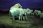 Kenya;Kenyan;Africa;_elephants;pachyderms;mammals;animals;fauna;UNESCO;World_Heritage_Site;Eastern_Province;elephant;African_Bush_Elephants;Loxodonta_africana;mounting;Ark;The_Ark;watering_hole;Aberdares;National_Park;night