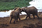 Kenya;Kenyan;Africa;_elephants;pachyderms;mammals;animals;fauna;UNESCO;World_Heritage_Site;Eastern_Province;elephant;African_Bush_Elephant;Loxodonta_africana;Ark;The_Ark;watering_hole;Aberdares;National_Park