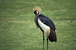 Kenya;Kenyan;Africa;_animals;birds;Blue_necked_Crane;Crowned_Crane;fauna;ornithology;Royal_Crane;Southern_Crowned_Crane;Mt_Kenya_Foothills;Eastern_Province;East;African;Crowned_Crane;Balearica_regulorum