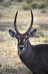 Kenya;Kenyan;Africa;_animals;antelopes;fauna;mammals;animals;fauna;wildlife;Eastern_Province;Waterbuck;Kobus_ellipsiprymnus;Samburu;National_Park