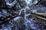 Lebanon;Lebanese;Asia;botanical;botany;Culture;flora;Lebanese;Middle_East;Near_East;plants;trees;UNESCO;World_Heritage_Sites;Bcharre;North_Lebanon;Lebanon;Forest;Cedars_of_God;Horsh_Arz_el_Rab