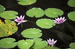 Martinique;Martiniquais;Martinican;Balata;Caribbean;West_Indies;Antilles;tropical;Pink;water_lilies;Balata_Botanical_Gardens