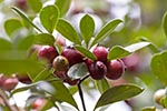 Mauritius;Maurice;Mauritian;Africa;Black_River_Gorges;Black_River_Gorges_National_Park;botanical;botany;flora;islands;plants;tropical;Wild_Chinese_guavas