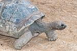 Mauritius;Maurice;Mauritian;Africa;Aldabra_Tortoise;animals;Chamarel;fauna;Geochelone_gigantia;islands;reptiles;tortoises;tropical;turtle;turtles