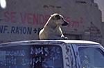 Mexico;Mexican;Latin_America;North_America;Central_America;dogs;domestic_animals;fauna;mammals;Chihuahua