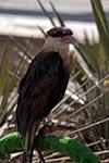 Mexico;Mexican;Latin_America;North_America;Central_America;Coahuila;Museo_del_Desierto;desert;animals;birds;Falcon;fauna;museum;ornithology;Saltillo