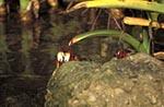 Mexico;Mexican;Latin_America;North_America;Central_America;animals;Barra_de_Cazones;Crabs;crustaceans;fauna;ichthyology;marine_life;sea_life;Veracruz