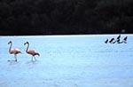 Mexico;Mexican;Latin_America;North_America;Central_America;birds;ornithology;animals;fauna;Caribbean;Flamingos;Celestun;Yucatan