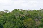 birds;ornithology;animals;fauna;Celestun;Central_America;Latin_America;Mexican;Mexico;North_America;Yucatan;American_Flamingos;Phoenicopterus_ruber;flying;mangrove;Celestún;Yucatan;Mexico