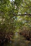 Mexico;Mexican;Latin_America;North_America;Central_America;botanical;botany;flora;plants;tropical;rain_forest;jungle;Mangrove;Celestun;Yucatan;Mangrove;Celestún;Yucatan;Mexico