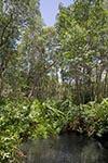 Mexico;Mexican;Latin_America;North_America;Central_America;botanical;botany;flora;plants;tropical;rain_forest;jungle;Mangrove;Celestun;Yucatan;Fresh_water;springs;mangrove;Celestún;Yucatan;Mexico