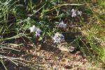Arkhangai_Province;Asia;flowers;_blooms;_blossoms;Khogno_Khan_Uul_Nature_Reserve;Mongolia;Mongolian;plants;_botany;_botanical;_flora