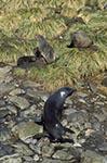 South_Georgia;Antarctic;Antarctica;sub_Antarctic;Albatross_Island;animals;Antarctic_fur_seals;Arctocephalus_gazella;ecosystem;environment;fauna;landscapes;mammals;marine_life;pinnipeds;polar;scenery;scenic;sea_life