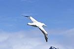South_Georgia;Antarctic;Antarctica;sub_Antarctic;Albatross_Island;animals;birds;Diomedea_Exulans;ecosystem;environment;fauna;landscapes;ornithology;polar;scenery;scenic;Wandering_albatross