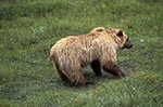 Americans;bears;mammals;animals;fauna;North_America;USA;United_States_of_America;USA;Alaska;United_States;Grizzly;Bear;Ursus_arctos_horribilis;Denali;National_Park