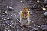 North_America;USA;USA;United_States_of_America;Americans;Denali_National_Park;Alaska;United_States;Arctic;Ground;Squirrel;Spermophilus_parryii